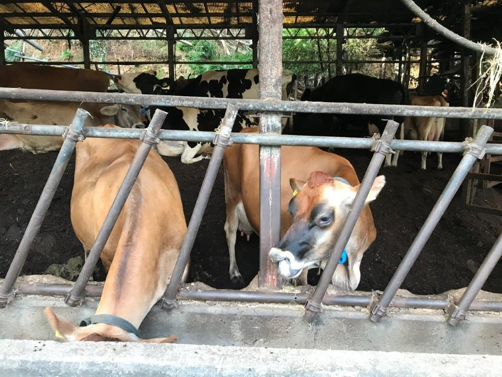 母牛舎の牛達