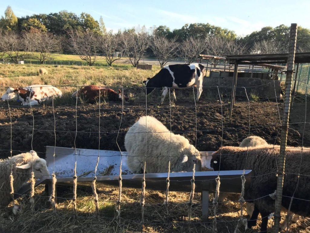 放牧場の羊たち