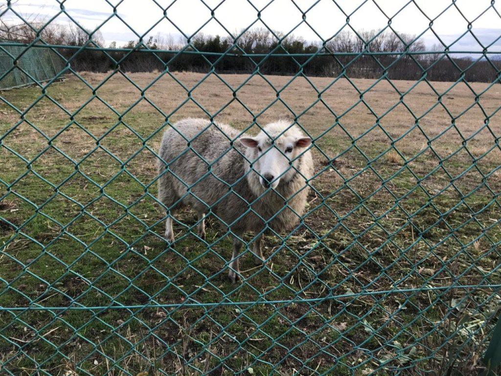 放牧場側入口の羊