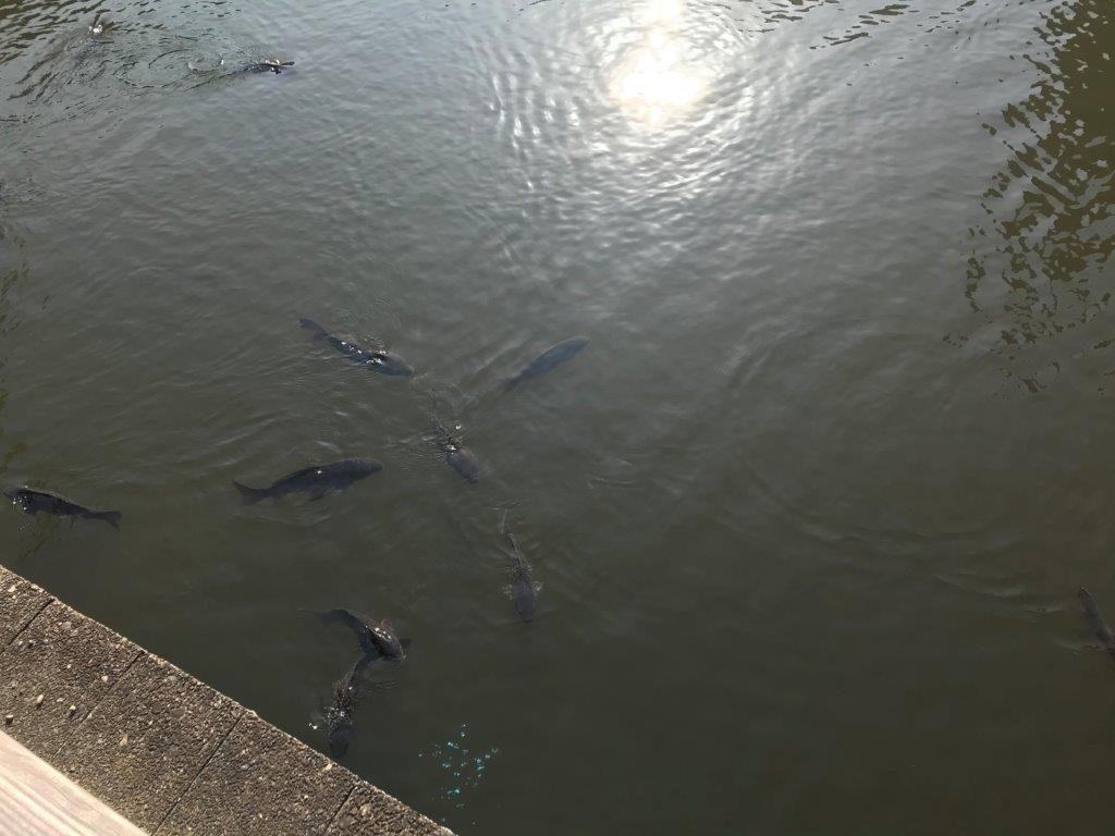 上の池の鯉